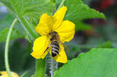 Bee pollinating cucumber — Stock Photo