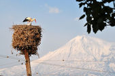 Storks near Ararat in Armenia — Stock Photo