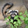 Rare Marbled polecat Vormela — Stock Photo