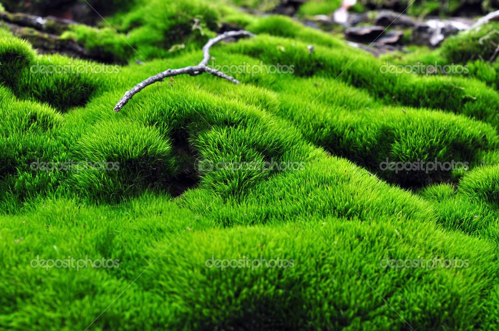 Grüne Fläche des Mooses — Stockfoto © evgovorov #37799903