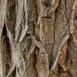 Stock Photo: Bark wood texture