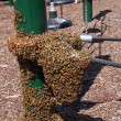 Stock Photo: Swarm of bees