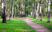 First days of september in morning birch grove — Stock Photo