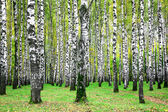 Autumn birch grove in the end of september — Stock Photo