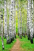 秋天的白桦树林中的路径 — 图库照片