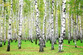 September autumn birch grove — Stock Photo
