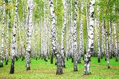 September autumn birch grove — Stock Photo