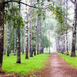 Birch grove with mist in autumn — Stock Photo