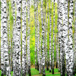 First days of autumn in birch grove — Stock Photo #13550122