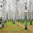 October autumn birch grove — Stock Photo #13854053