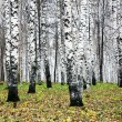 Stock Photo: Autumn birch grove in october