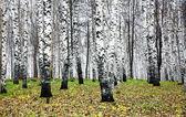 Otoño bosque de abedules en octubre — Foto de Stock