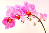 Beautiful pink streaked orchid flower — Stock Photo