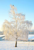 Winter snow-covered birch in strong frost with blue sky — Stock Photo