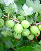 Gooseberry with leaf on green background — Stock Photo