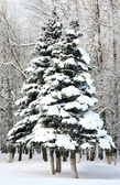 Beautiful christmas fir trees with snowy brances in sinlight — Stockfoto