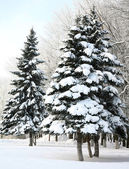 Christmas fir trees with snowy brances in sinlight — Stockfoto