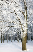 Winter trees with snowy branches — Stock Photo