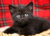 Funny baby cat kitten in wicker basket — Stock Photo