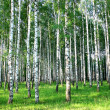 Beautiful summer birch groove in the evening sunlight — Stock Photo