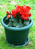 Red blossoming begonia — Stock Photo