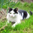 Black white cat hunting and looking for catch — Stock Photo #27664425