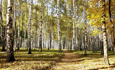 Pathway in october autumn sunny birch grove on blue sky — Stock Photo