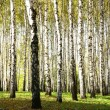 Autumn birch grove with sunlight and shadow in october evening — Stock Photo