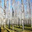 October autumn birch grove with sunbeams and shadows on blue sky — Stock Photo