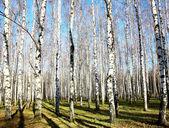 Boulaie automne d'octobre avec les rayons du soleil et les ombres sur le ciel bleu — Photo