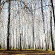 Autumn october birch grove with sunbeams and shadows — Stock Photo