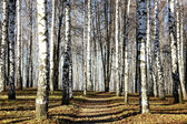 Sunny pathway in november autumn birch grove — Stock Photo