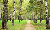 Morning autumn birch grove in the end of September — Stockfoto