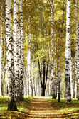 Sunny pathway in autumn evening birch grove — Stock Photo