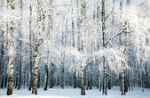 Birch forest with covered snow branches — Stockfoto