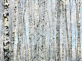 Winter trunks of birch trees — Stockfoto