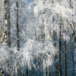 Stock Photo: Winter snow covered birch branches