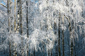 Winter snow covered birch branches — Photo