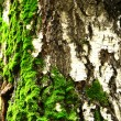 Moss on birch tree — Stock Photo #40512215