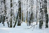 Bosque soleado invierno — Foto de Stock