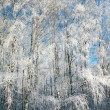 Foto Stock: Birch winter forest in sunny weather