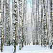 Foto Stock: Winter forest in sunlight