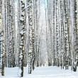 Winter forest in sunlight — Stockfoto