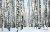Winter forest in sunlight — Stock Photo