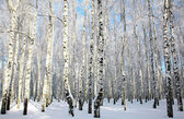 Snowy winter forest in sunlight — Stock Photo