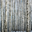 Winter birches — Stock Photo #41047813