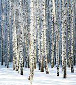 Snowy winter birch grove in sunlight — Stock Photo