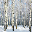 Birch forest with covered snow branches in sunlight — Stock Photo #41911653