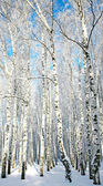 Sunny winter birch forest — Foto de Stock