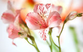 Just opening alstroemeria lily flowers macro on white background — Stock Photo